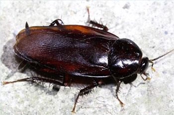 出典元http://mushinavi.com/navi-insect/data-goki_kuro.htm