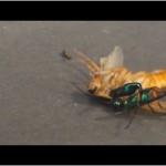 ゴキブリを操作する昆虫!エメラルドゴキブリバチ
