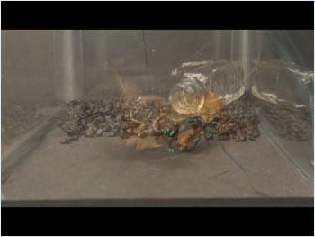 エメラルドゴキブリバチ02